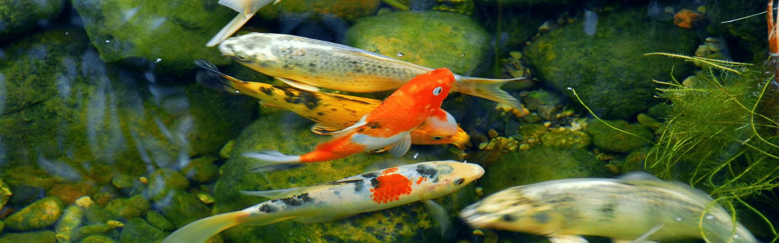 Koivijvers en vijvers met vissen